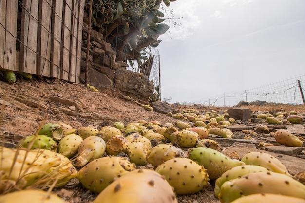 Kłujące gruszki (opuntia ficus-indica) lub indyjskie figi