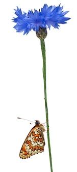 Knapweed fritillary - melitaea phoebe, motyl odizolowywający na bielu