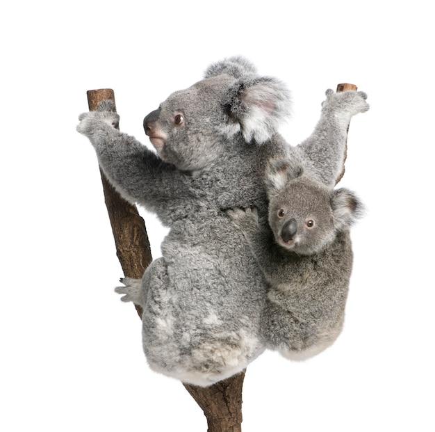 Koala i jej dziecko - phascolarctos cinereus