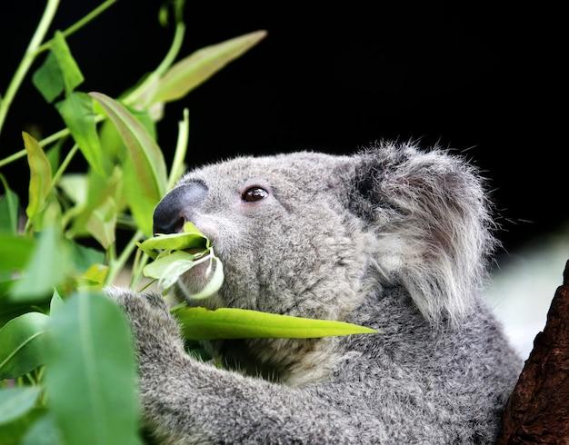 Koala jedzenia liści eukaliptusa.