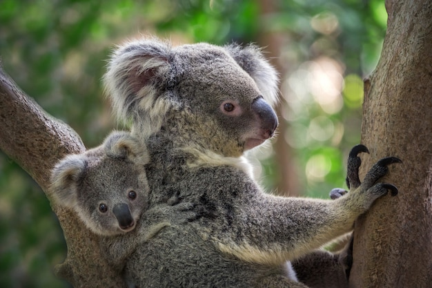 Koala matki i dziecka na drzewie w naturalnej atmosferze.