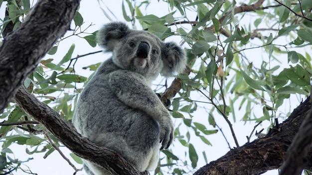Koala na drzewie eukaliptusowym