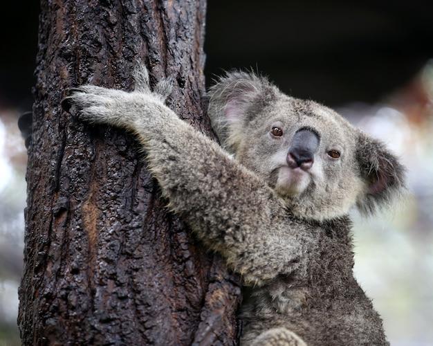 Koala patrząc aparatu