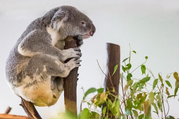 Koala, phascolarctos cinereus na drzewie
