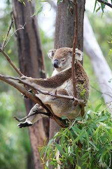 Koala w drzewie