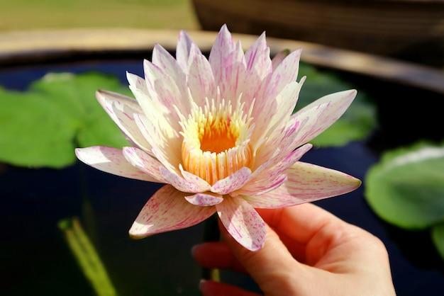 Kobieca dłoń dotykająca wspaniałej nymphaea paranee hardy lilia wodna w słońcu