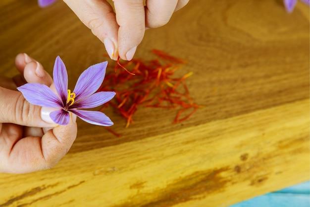 Kobieca dłoń oddziela pręciki od kwiatowego szafranu. przyprawa.