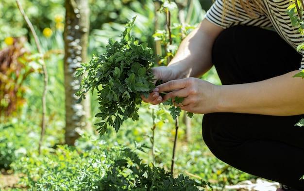 Kobieca ręka zbiera liście pietruszki w ogrodzie.