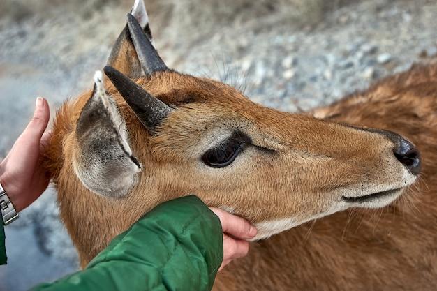 Kobiece dłonie głaszczące dzikie zwierzę.