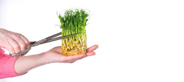 Kobiece dłonie wycinają mikrozieleń dużymi nożyczkami. świeże soczyste kiełki grochu. mikroelementy. pożywienie