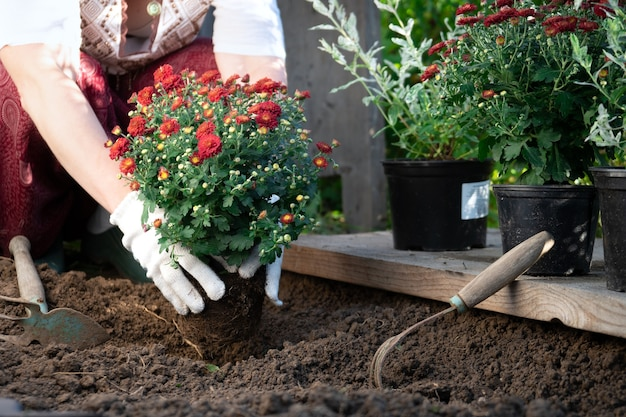 Kobiece ręce ogrodnika sadzenie czerwonych kwiatów chryzantemy w ogrodzie wiosną lub latem.