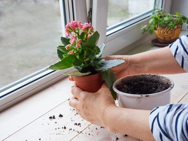 Kobiece ręce przeszczepiają roślinę domową do nowej doniczki