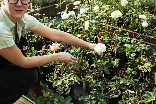 Kobiece ręce tnące sadzonki w doniczce za pomocą sekatorów w szklarni