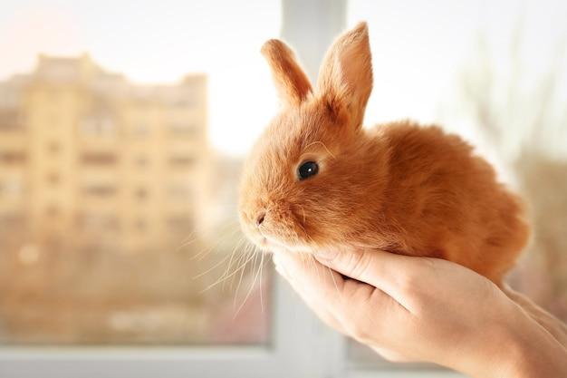 Kobiece ręce trzymając ładny foxy królika w pobliżu okna