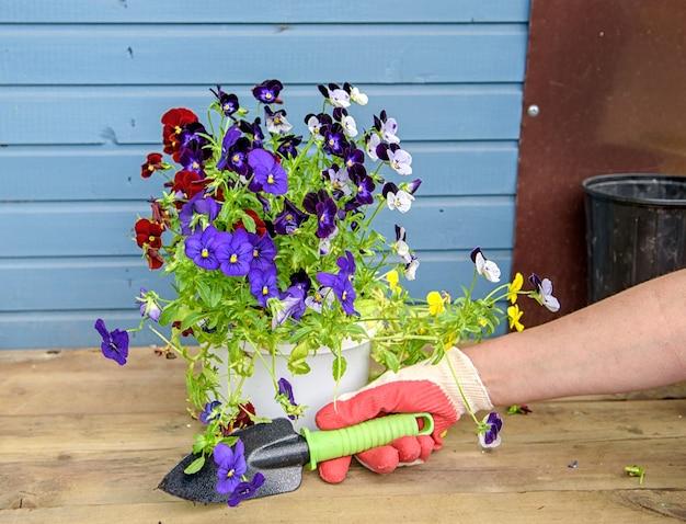 Kobiece ręce w rękawiczkach ogrodniczych posadzą wiosenną koncepcję kolorowych bratków