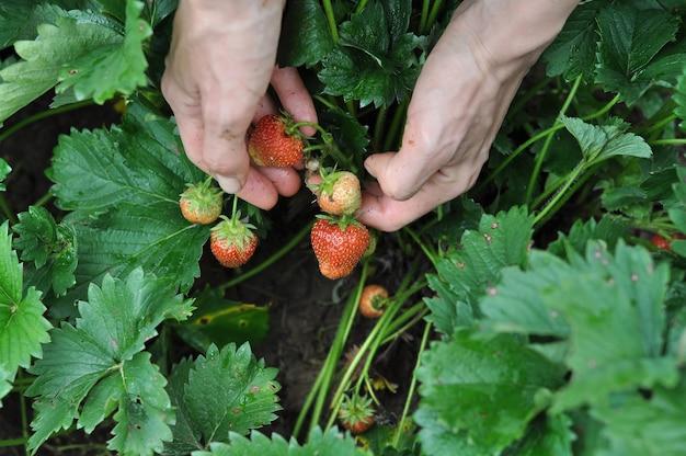 Kobiece ręce zbierają truskawki w porze deszczowej