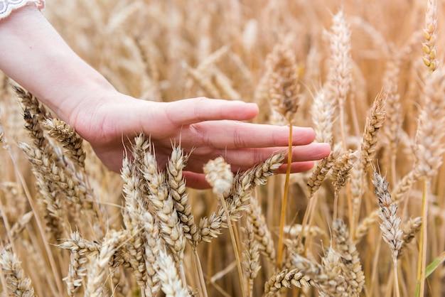 Kobiecej ręki dotknąć kłosy pszenicy w polu. koncepcja zbiorów