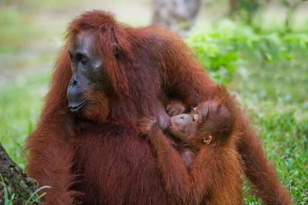 Kobiecy orangutan z dzieckiem na wolności. indonezja. wyspa kalimantan (borneo).