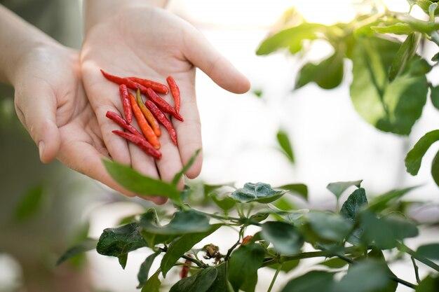 Kobiet ręki trzyma czerwonego chili pieprzu przy ogródem, domowy narastający warzywo.