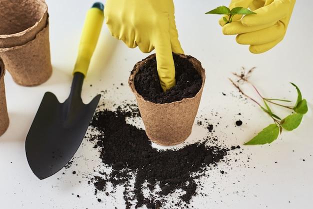 Kobiet ręki w żółtych rękawiczkach przeflancowywa rośliny. koncepcja pielęgnacji roślin