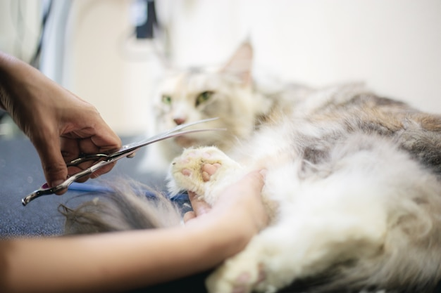 Kobieta cięcia paznokci kota.