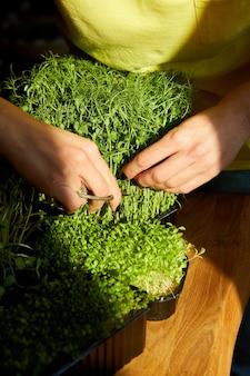 Kobieta cięta nożyczkami microgreen na drewnianym stole, ostre światło, bliska, kopia przestrzeń. ogrodnictwo domowe, wegańskie, zdrowa żywność, superfoods.