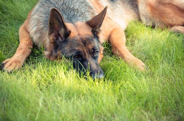 Kobieta czystej krwi owczarek niemiecki na zewnątrz. pies leży na zielonej trawie. zielony letni ogród.