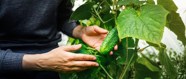 Kobieta dbanie o uprawy ogórków w szklarni. koncepcja zbioru