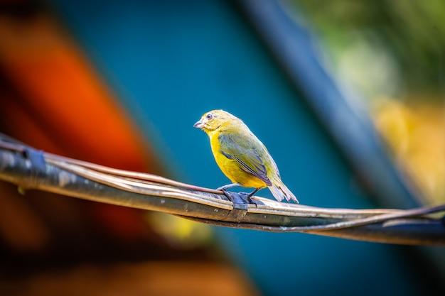 Kobieta eufonia purpurowo-gardłowa (euphonia chlorotica) ptak aka fim fim stojąca na drucie