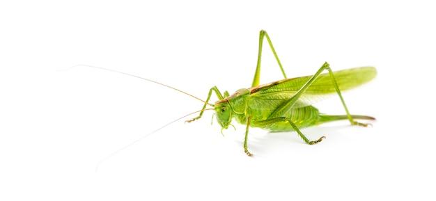 Kobieta great green bush-cricket, ettigonia viridissima przed białą powierzchnią