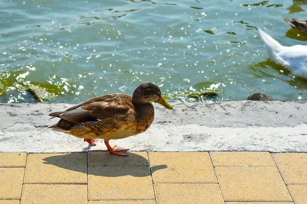 Kobieta kaczka krzyżówka bliska na nabrzeżu.