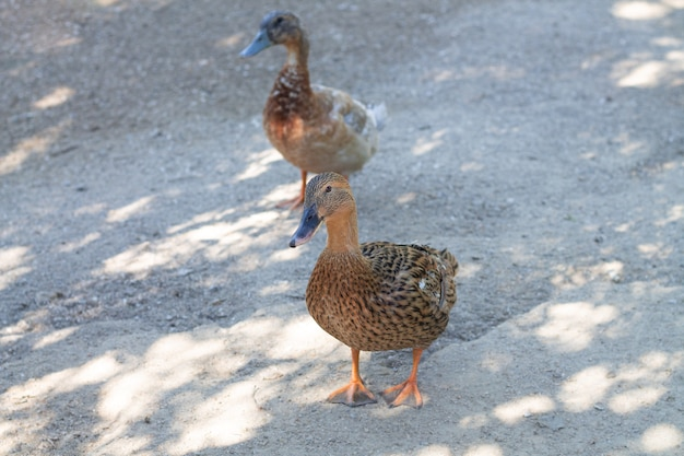 Kobieta kaczki krzyżówki spaceru na farmie