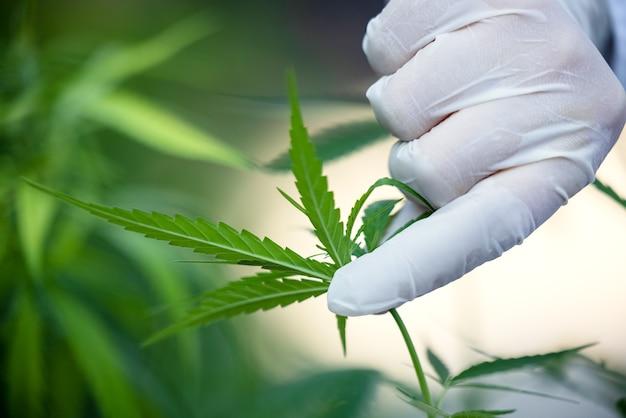 Kobieta kontroluje rośliny marihuany. pole konopi w ogrodzie. skup się na liściach trzymanych w rękach