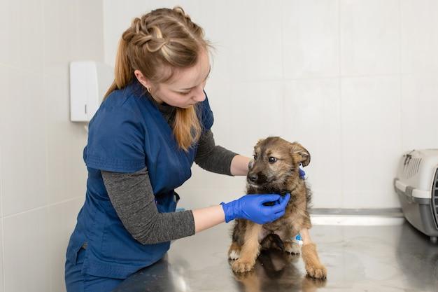 Kobieta lekarz weterynarii bada na stole w klinice weterynaryjnej małego bezdomnego rasowego szczeniaka z cewnikiem w łapie