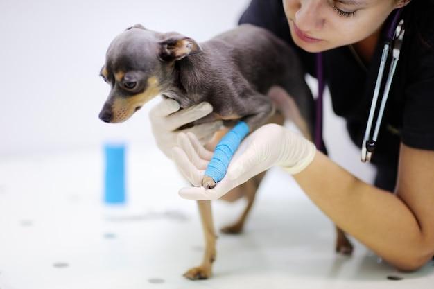 Kobieta lekarz weterynarii podczas badania w klinice weterynaryjnej. mały pies ze złamaną nogą w klinice weterynaryjnej