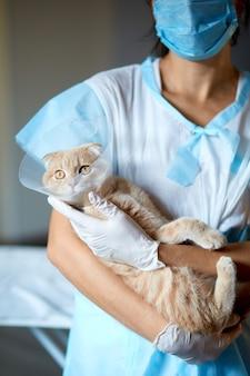 Kobieta lekarz weterynarii trzyma na rękach kot z kołnierzem z tworzywa sztucznego stożka po kastracji, koncepcja weterynaryjna.