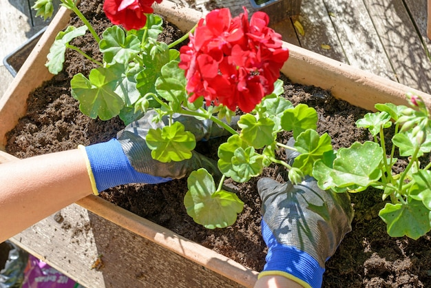 Kobieta mężczyzna sadzenia pelargonie na ogród letni