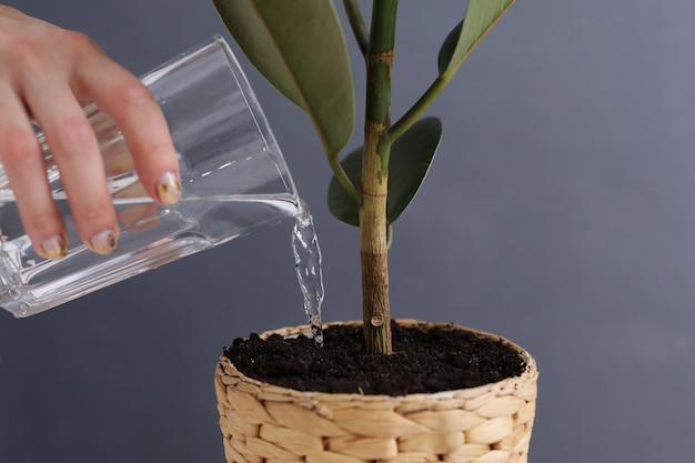 Kobieta nawadnia ficus benjamina indoors na szarym tle, zbliżenie. roślina domowa. selektywna ostrość.