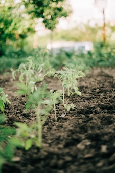 Kobieta ogrodnictwo pomidor kiełkuje do gleby na swoim podwórku. naturalna żywność ekologiczna