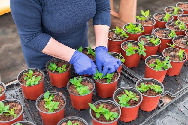 Kobieta ogrodniczka przesadzająca sadzonki petunii do doniczek