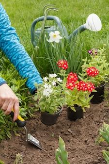 Kobieta ogrodniczka sadzi czerwone i białe kwiaty werbeny na grządce ogrodowej za pomocą łopaty.