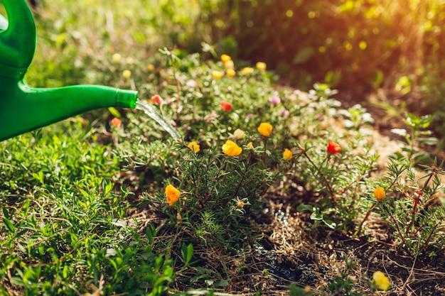 Kobieta ogrodnik podlewania portulaka kwiaty z konewką