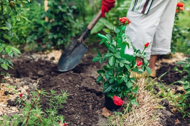 Kobieta ogrodnik przesadzanie kwiatów róż z doniczki na mokrą ziemię.