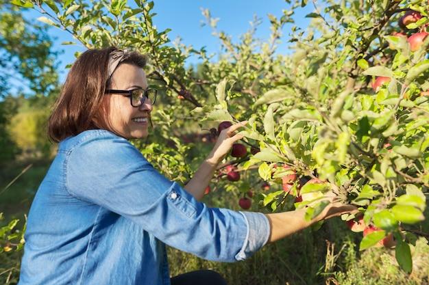 Kobieta ogrodnik zbieranie upraw czerwonych jabłek z drzewa w ogrodzie. hobby, ogrodnictwo, uprawa ekologicznych jabłek, zdrowa naturalna żywność
