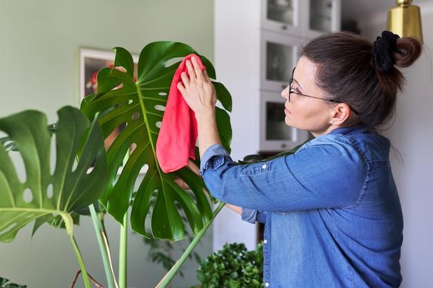 Kobieta opiekuje się rośliną doniczkową w domu, samica czyści wycierając liście monstery i posypuje wodą. hobby, ogrodnictwo domowe, roślina doniczkowa, miejska dżungla, koncepcja przyjaciół doniczkowych