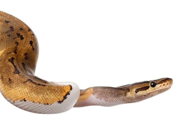 Kobieta pinstripe pied royal python, python kulkowy - python regius, pinstripe