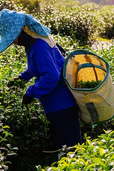 Kobieta pracuje w zielonej herbaty plantaci w ranku, chiang raja, tajlandia