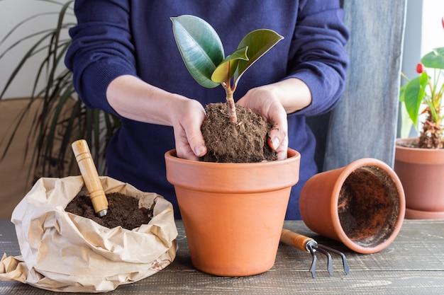 Kobieta przesadza kwiat ficus do nowej brązowej glinianej doniczki, przeszczep rośliny doniczkowej w domu