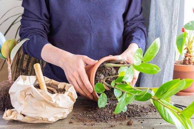 Kobieta przesadza kwiat zamioculcas w nowej brązowej glinianej doniczce, przeszczep rośliny doniczkowej w domu
