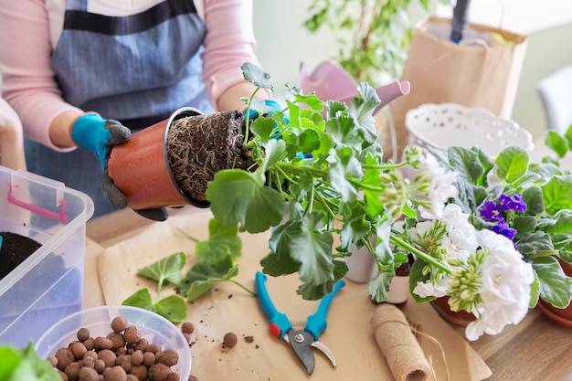 Kobieta przesadza zakupioną pelargonię kwiatową rośliny doniczkowej w większej doniczce, zbliżenie glinianej bryły z korzeniami. uprawa i pielęgnacja roślin doniczkowych w pomieszczeniach. hobby i wypoczynek, ogrodnictwo domowe
